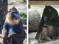 Újabb csoda a Vadaskertben! Kisoroszlán után most mandrill kölyök született